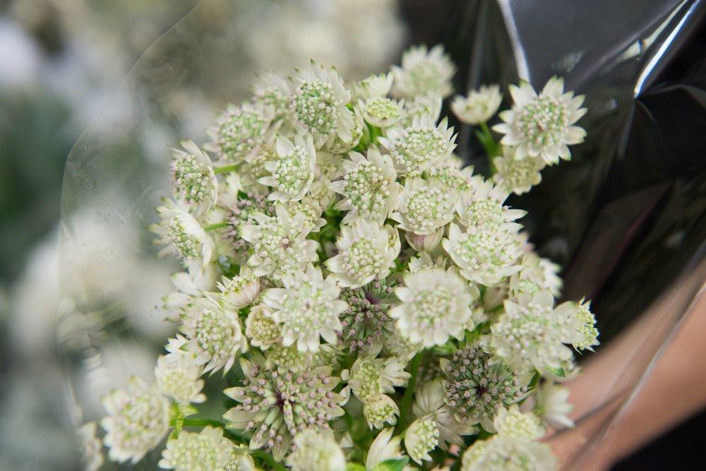 Flower Friday | Astrantia