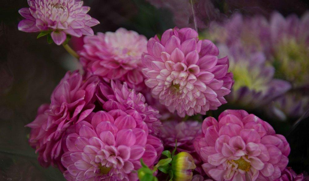 Flower Friday | Dahlia